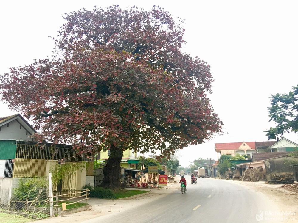 """""""Cụ"""" cây bàng cổ gần 250 tuổi ở Nghệ An, xòe tán rộng 15m chuyển lá màu đỏ, quyến rũ đến lạ kỳ - Ảnh 1."""