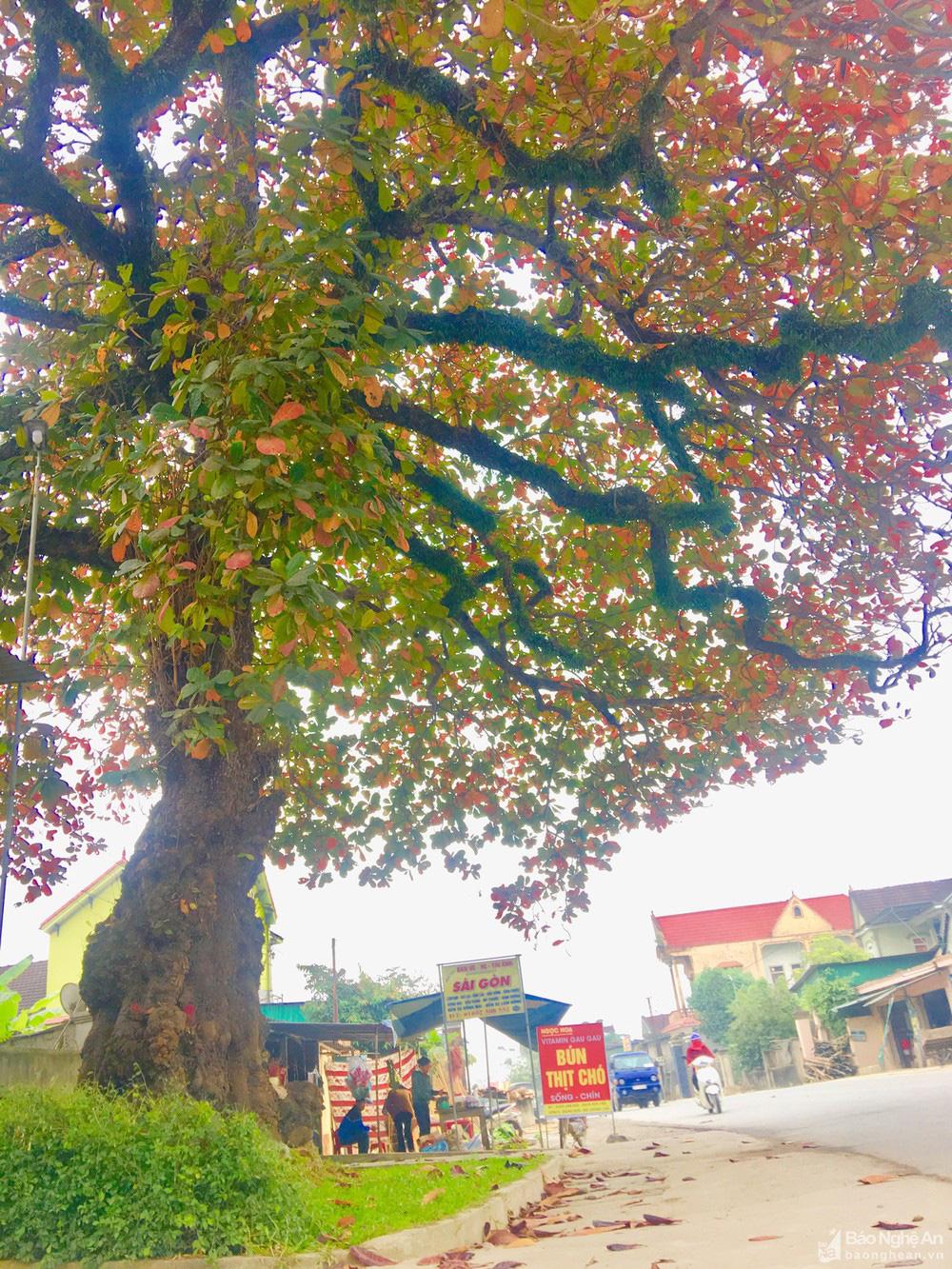 """""""Cụ"""" cây bàng cổ gần 250 tuổi ở Nghệ An, xòe tán rộng 15m chuyển lá màu đỏ, quyến rũ đến lạ kỳ - Ảnh 2."""