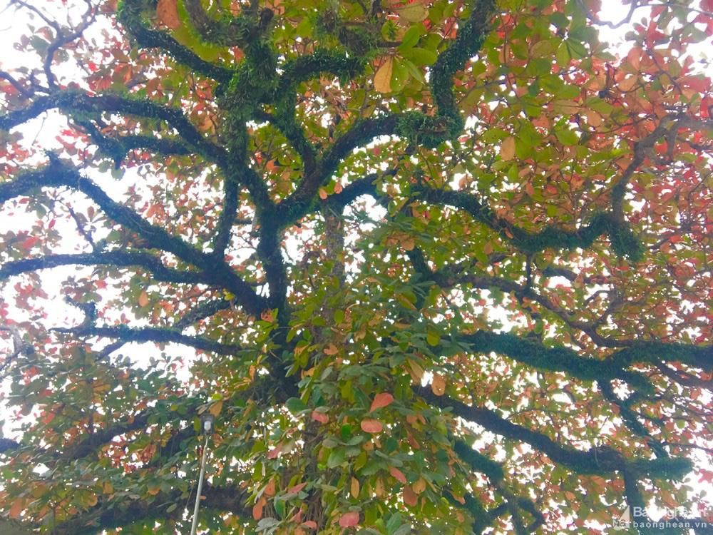 """""""Cụ"""" cây bàng cổ gần 250 tuổi ở Nghệ An, xòe tán rộng 15m chuyển lá màu đỏ, quyến rũ đến lạ kỳ - Ảnh 3."""