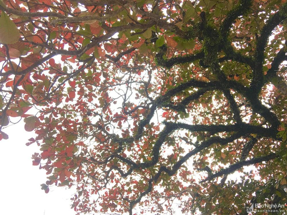 """""""Cụ"""" cây bàng cổ gần 250 tuổi ở Nghệ An, xòe tán rộng 15m chuyển lá màu đỏ, quyến rũ đến lạ kỳ - Ảnh 4."""