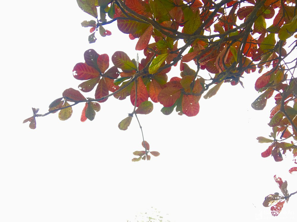 """""""Cụ"""" cây bàng cổ gần 250 tuổi ở Nghệ An, xòe tán rộng 15m chuyển lá màu đỏ, quyến rũ đến lạ kỳ - Ảnh 5."""
