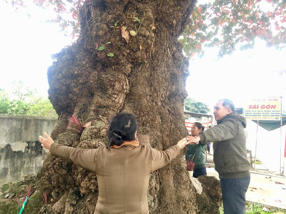 """""""Cụ"""" cây bàng cổ gần 250 tuổi ở Nghệ An, xòe tán rộng 15m chuyển lá màu đỏ, quyến rũ đến lạ kỳ - Ảnh 7."""