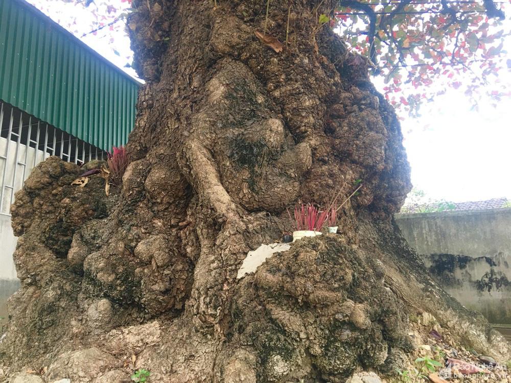 """""""Cụ"""" cây bàng cổ gần 250 tuổi ở Nghệ An, xòe tán rộng 15m chuyển lá màu đỏ, quyến rũ đến lạ kỳ - Ảnh 8."""