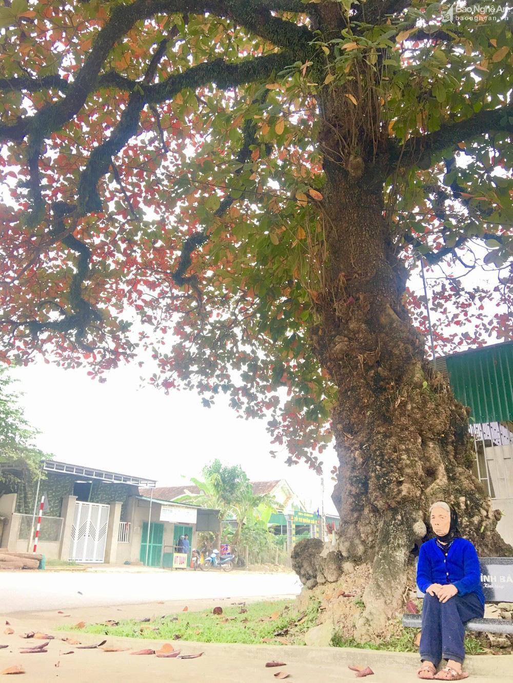 """""""Cụ"""" cây bàng cổ gần 250 tuổi ở Nghệ An, xòe tán rộng 15m chuyển lá màu đỏ, quyến rũ đến lạ kỳ - Ảnh 6."""