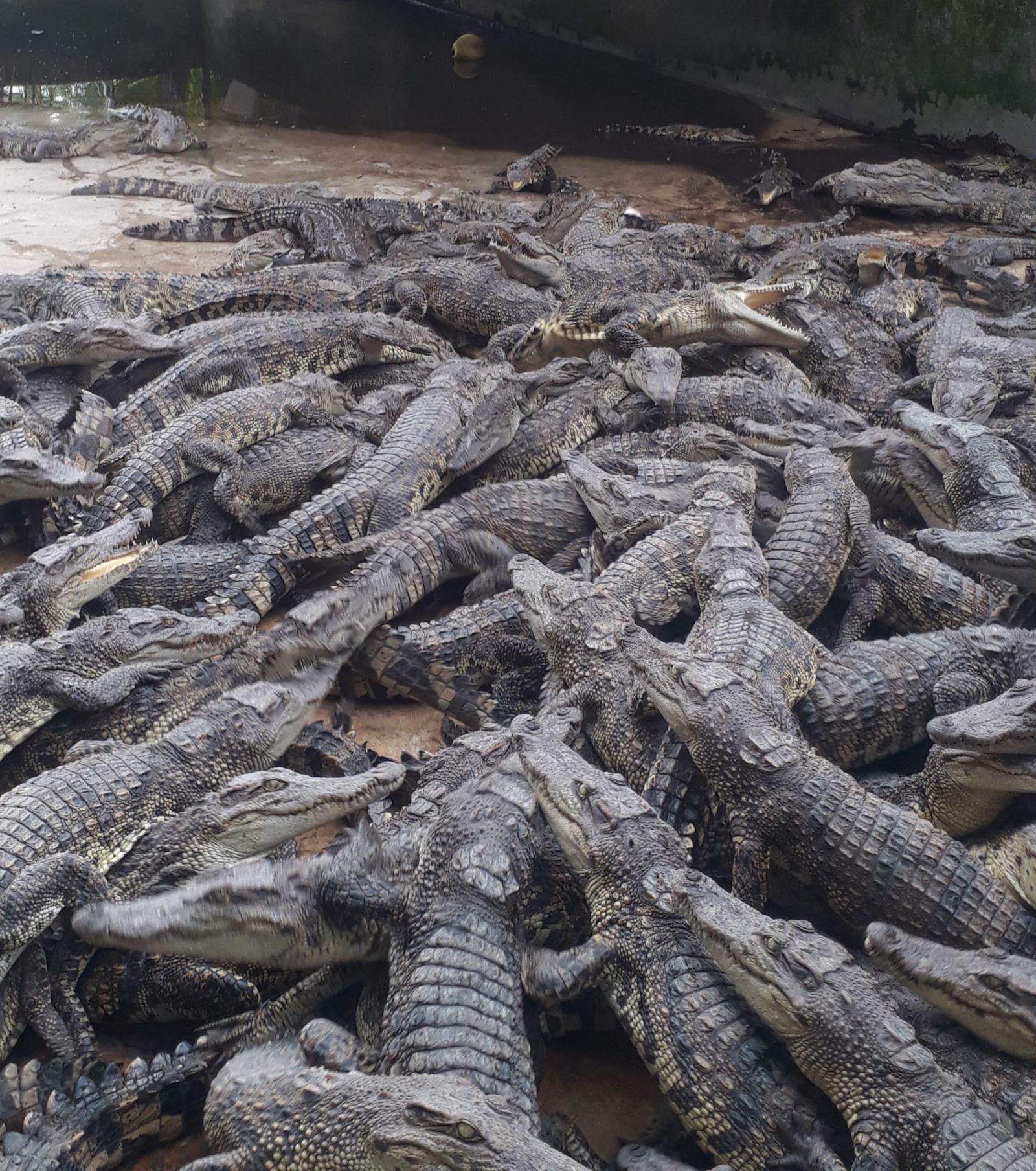 """Cám cảnh nuôi cá sấu: Bán cá sấu không ai mua, nông dân bấm bụng """"nuôi báo cô"""" không biết đến bao giờ - Ảnh 1."""