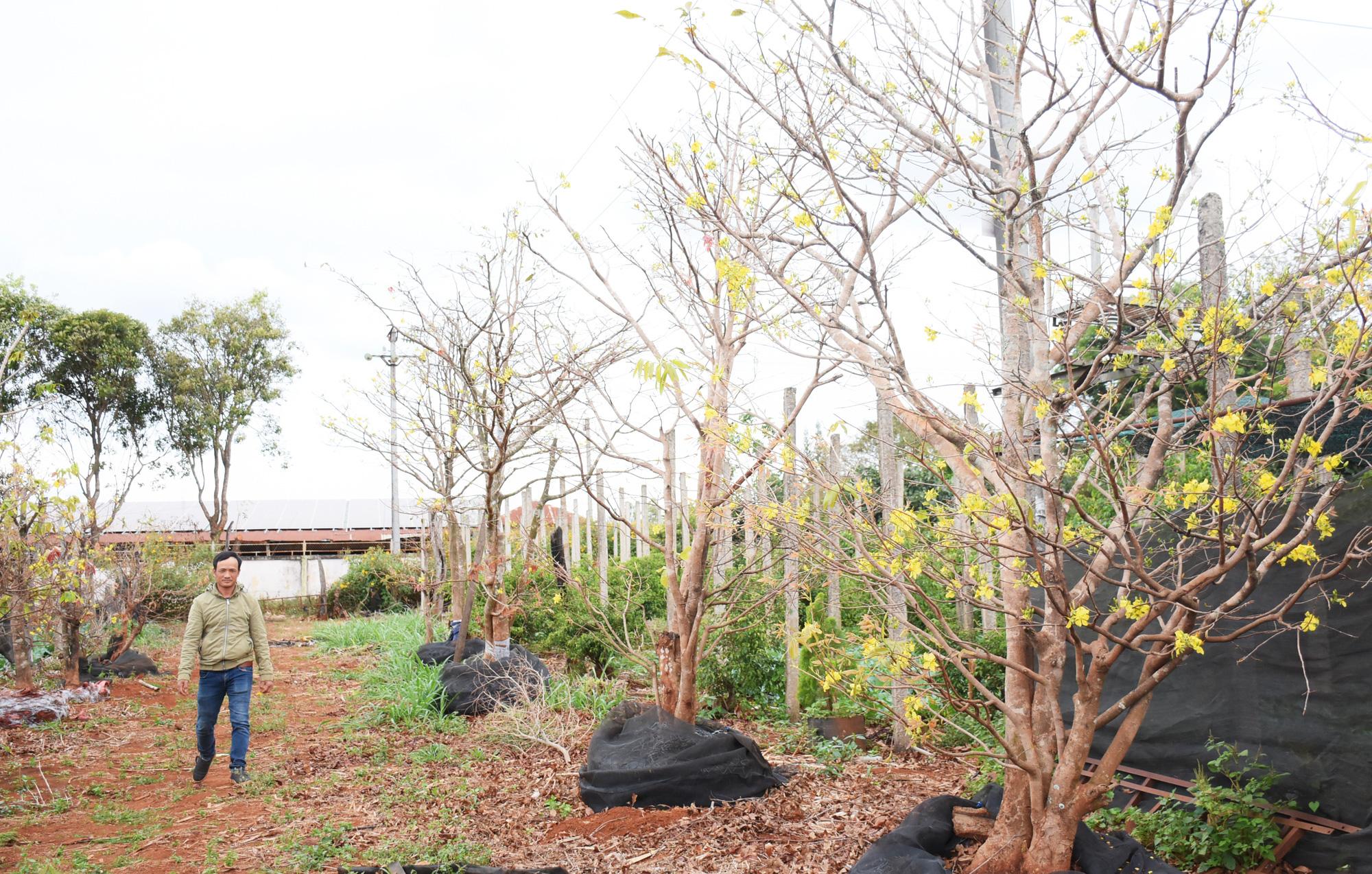 Đáng ngại: Đào 1 cây mai rừng khủng bán 45 triệu, nhoáng cái đã có người mua lại giá 85 triệu - Ảnh 1.