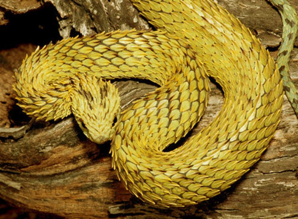 Loài rắn lạ có đuôi như nhện được ví như... lưỡi hái thần chết - Ảnh 1.