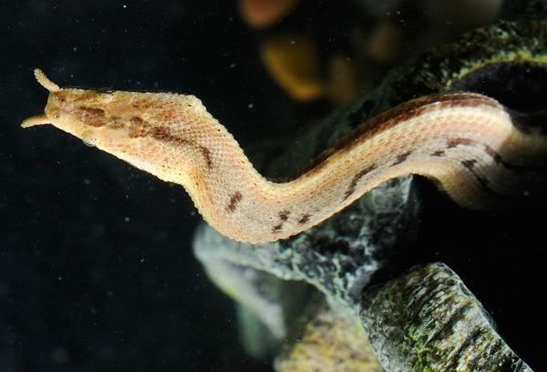 Loài rắn lạ có đuôi như nhện được ví như... lưỡi hái thần chết - Ảnh 10.