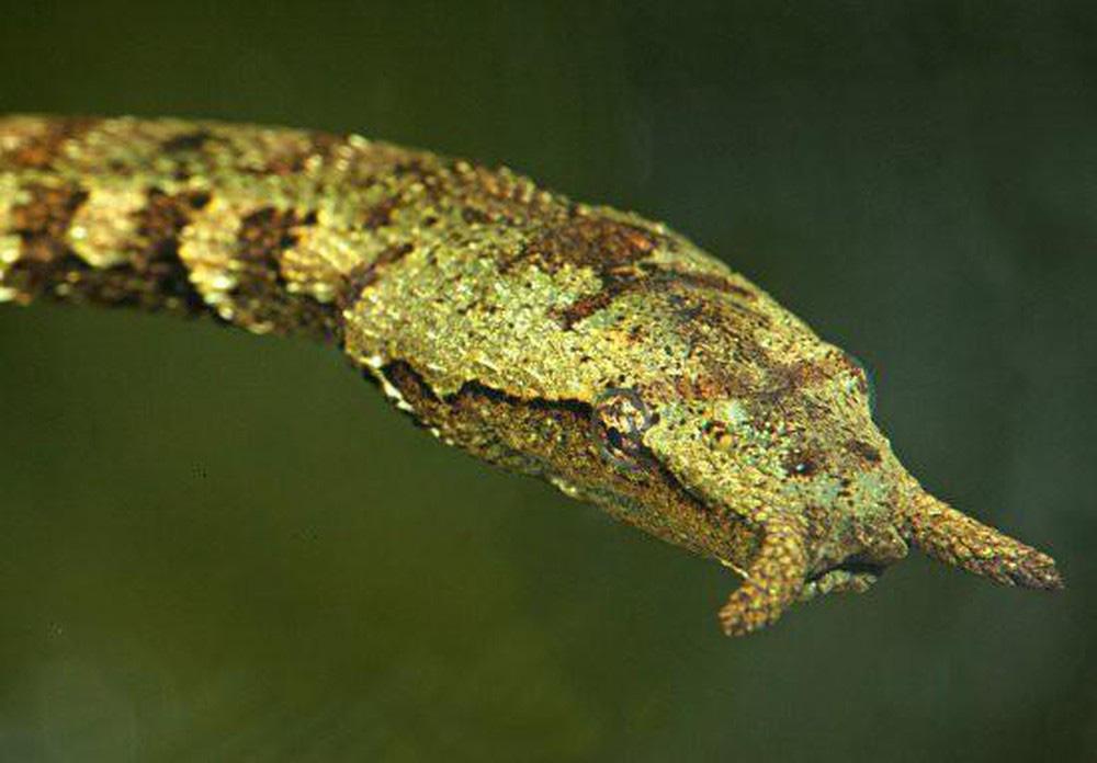 Loài rắn lạ có đuôi như nhện được ví như... lưỡi hái thần chết - Ảnh 11.