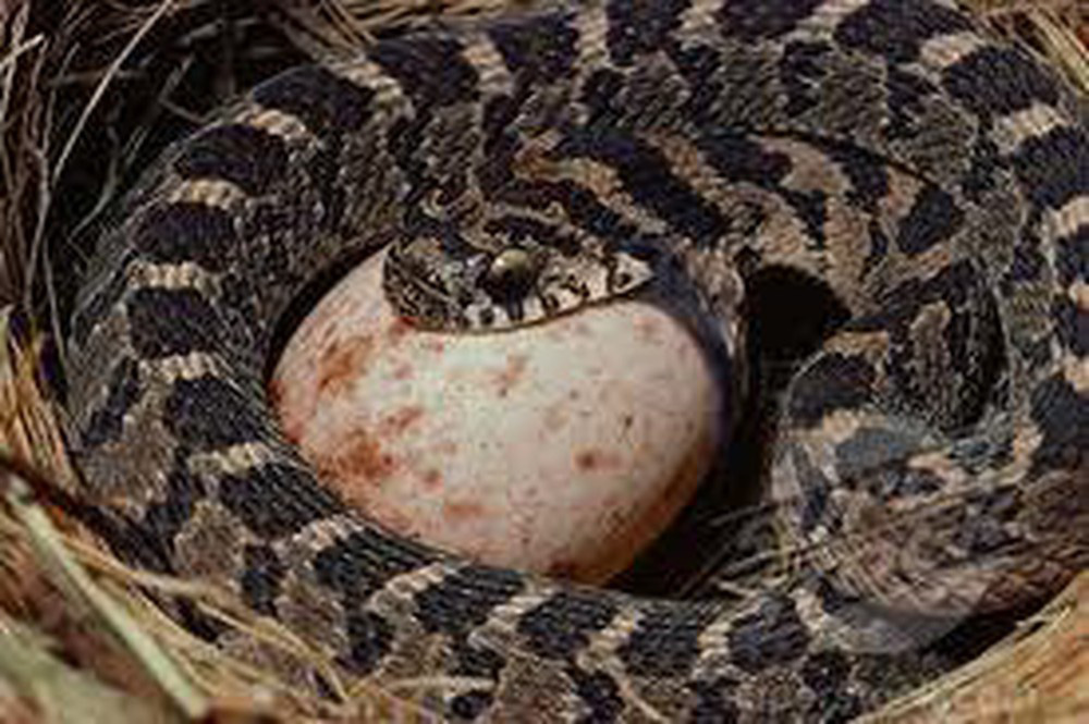 Loài rắn lạ có đuôi như nhện được ví như... lưỡi hái thần chết - Ảnh 13.