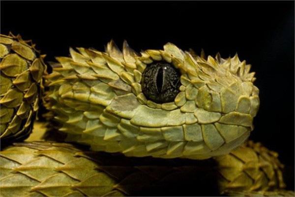 Loài rắn lạ có đuôi như nhện được ví như... lưỡi hái thần chết - Ảnh 2.