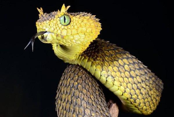 Loài rắn lạ có đuôi như nhện được ví như... lưỡi hái thần chết - Ảnh 3.