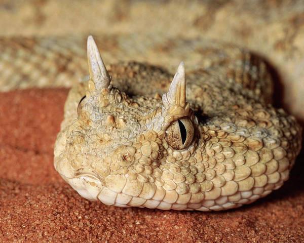 Loài rắn lạ có đuôi như nhện được ví như... lưỡi hái thần chết - Ảnh 5.