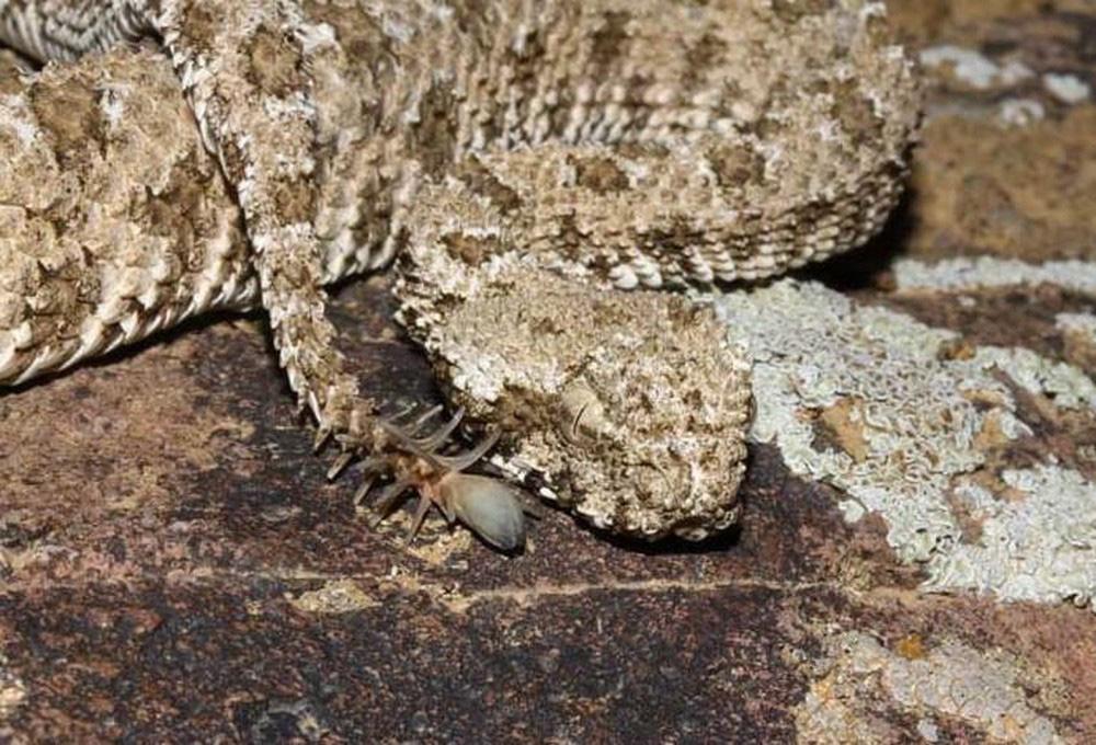 Loài rắn lạ có đuôi như nhện được ví như... lưỡi hái thần chết - Ảnh 6.