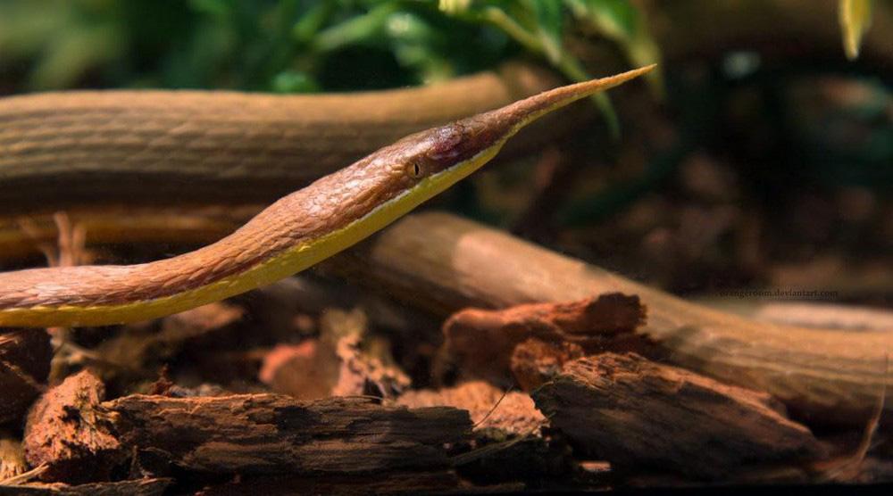 Loài rắn lạ có đuôi như nhện được ví như... lưỡi hái thần chết - Ảnh 9.