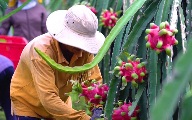 Thanh long là một trong những mặt hàng xuất khẩu lớn của Việt Nam
