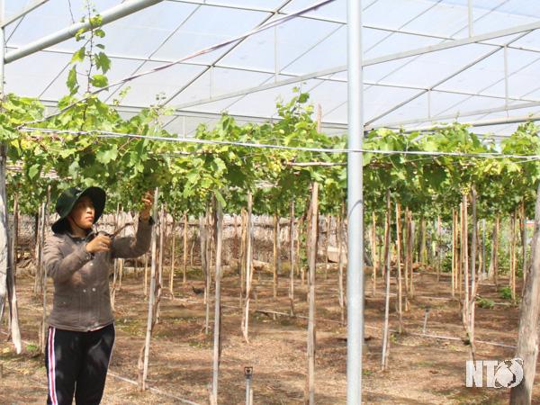 """Ninh Thuận: Lạ, nông dân trồng nho bằng cách gì mà sâu bọ đứng ngoài """"khóc"""", cây ra trái quá trời - Ảnh 1."""
