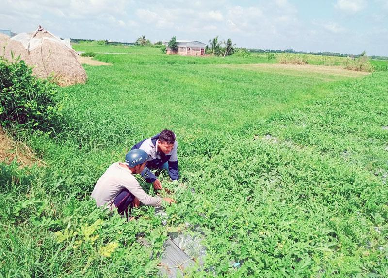 Bến Tre: Trồng rau hữu cơ theo cách này, ít tốn tiền mà nông dân lãi cao bất ngờ - Ảnh 1.