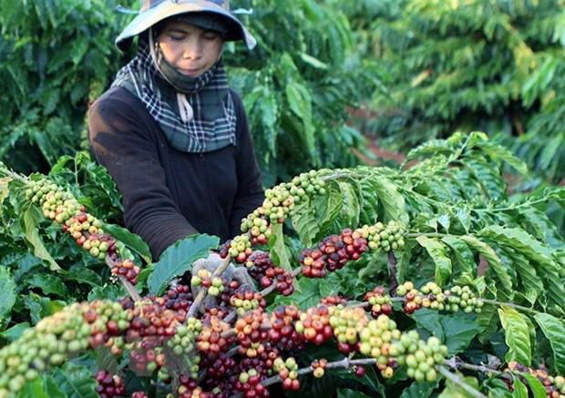 Giá nông sản hôm nay (16/1): Tiêu tiếp tục những ngày giao dịch ảm đạm, cà phê đảo chiều tăng - Ảnh 1.