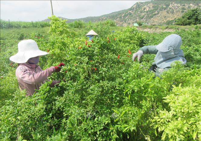 Ninh Thuận: Thứ cây dễ trồng, ít tốn công chăm, hái trái mỏi tay, nông dân trúng đậm - Ảnh 3.
