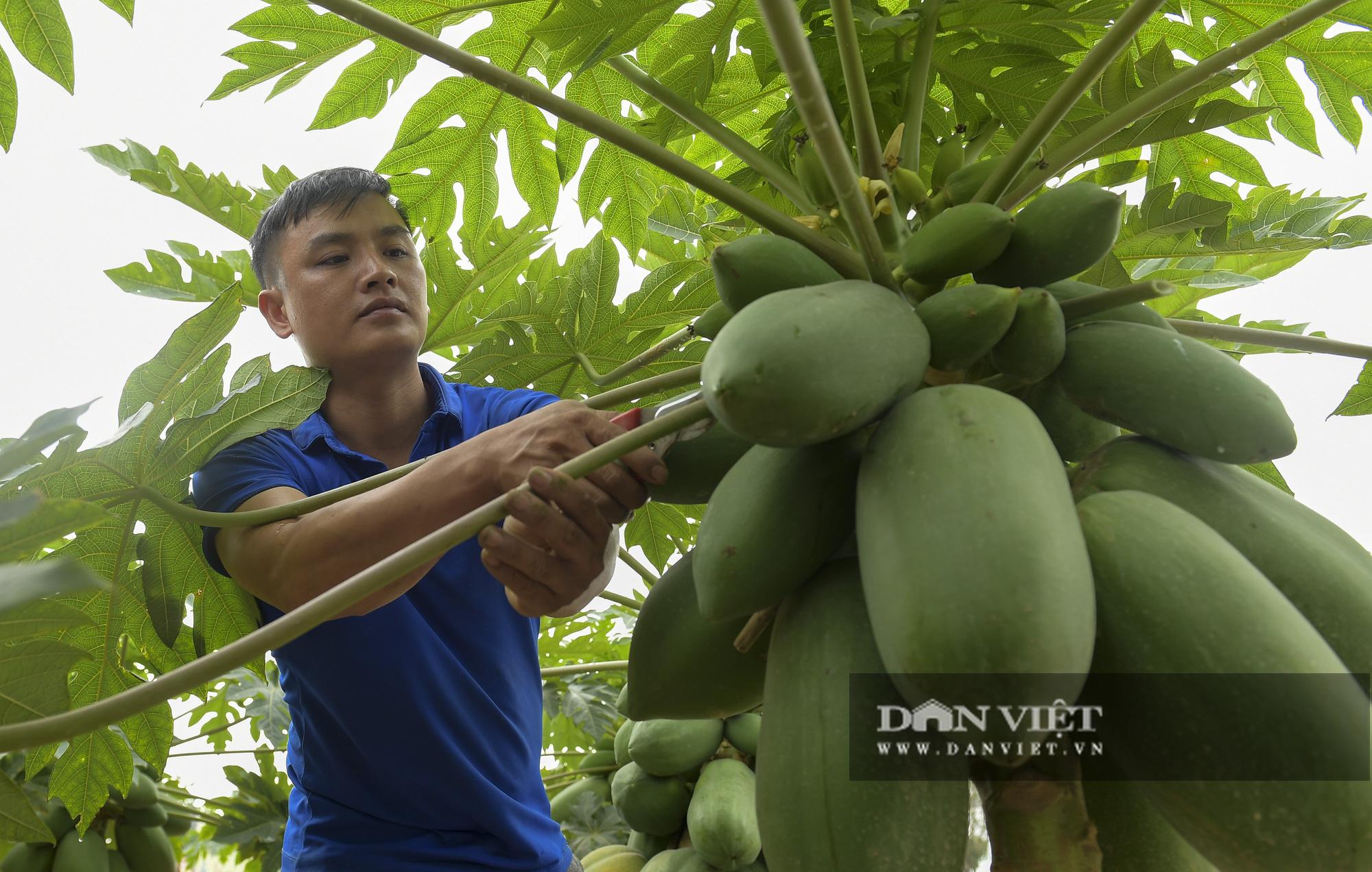Độc đáo vườn đu đủ bonsai trĩu quả chơi Tết, mỗi cây giá bạc triệu hút khách mua chơi Tết - Ảnh 7.