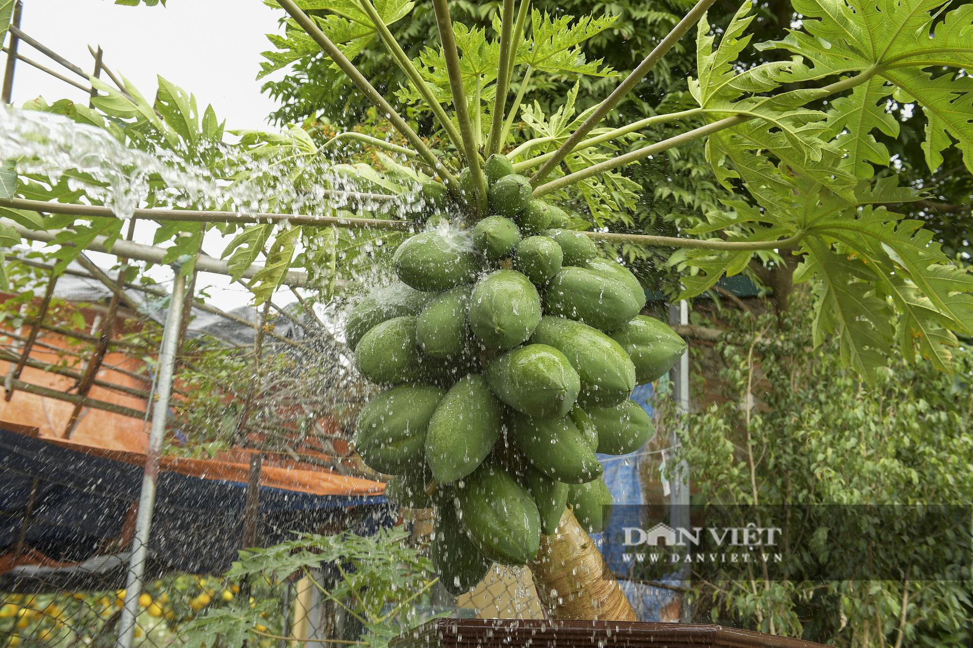 Độc đáo vườn đu đủ bonsai trĩu quả chơi Tết, mỗi cây giá bạc triệu hút khách mua chơi Tết - Ảnh 6.