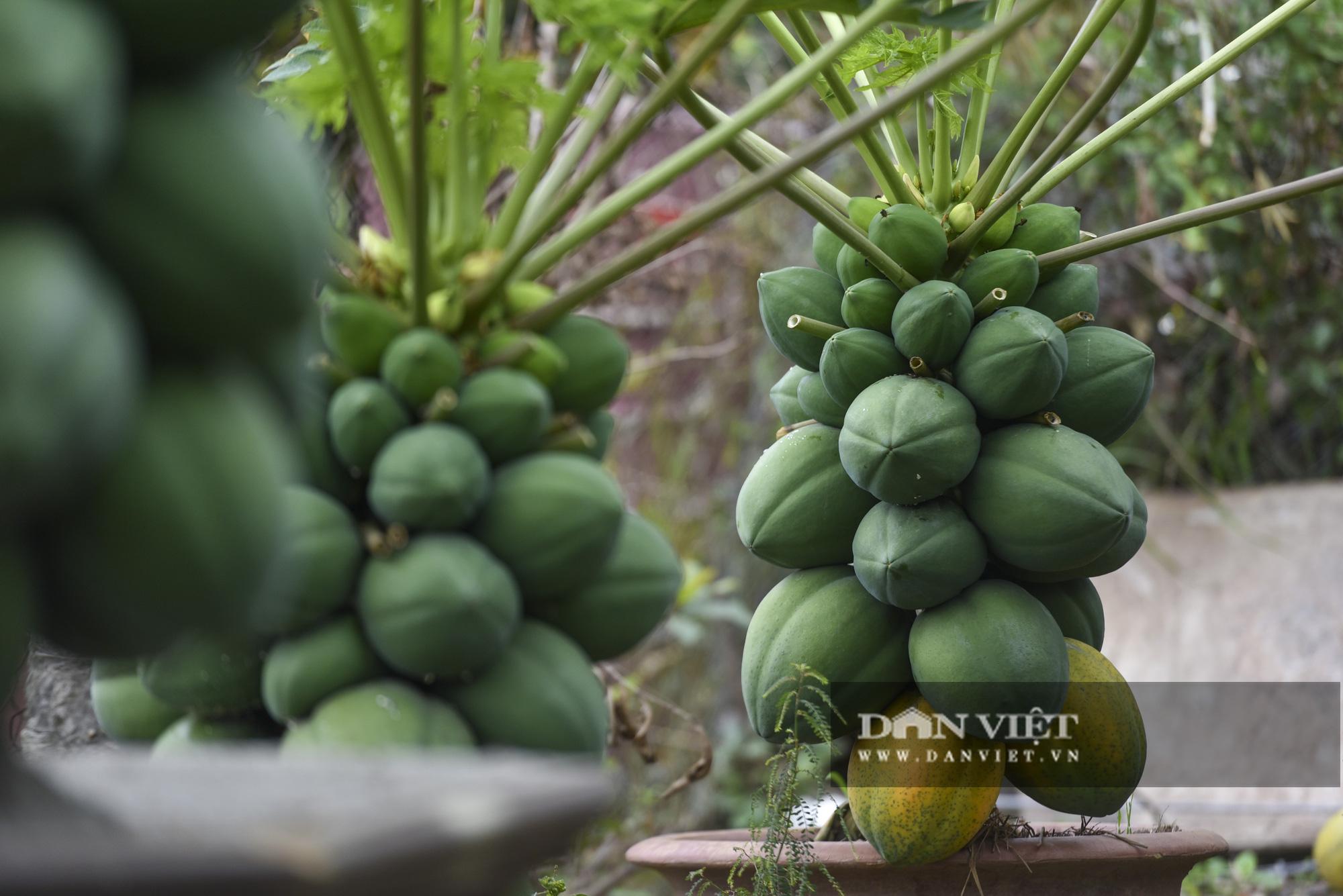 Độc đáo vườn đu đủ bonsai trĩu quả chơi Tết, mỗi cây giá bạc triệu hút khách mua chơi Tết - Ảnh 3.
