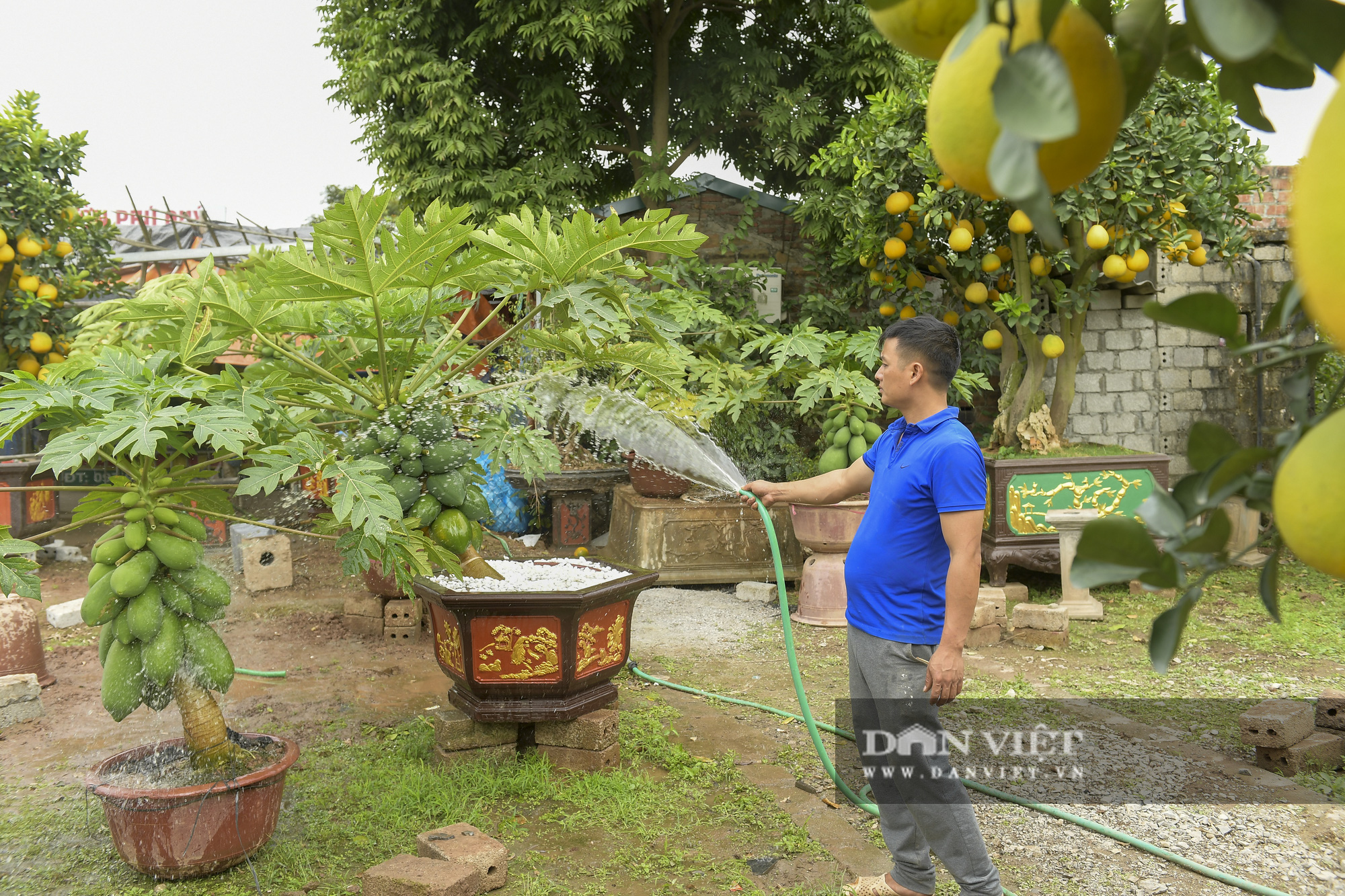 Độc đáo vườn đu đủ bonsai trĩu quả chơi Tết, mỗi cây giá bạc triệu hút khách mua chơi Tết - Ảnh 5.