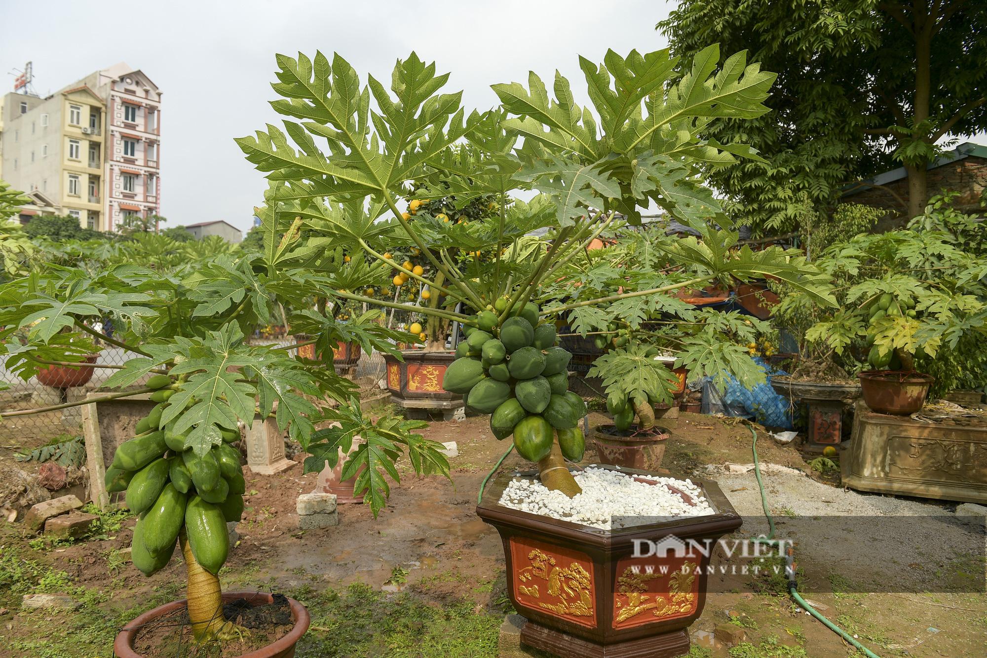 Độc đáo vườn đu đủ bonsai trĩu quả chơi Tết, mỗi cây giá bạc triệu hút khách mua chơi Tết - Ảnh 2.