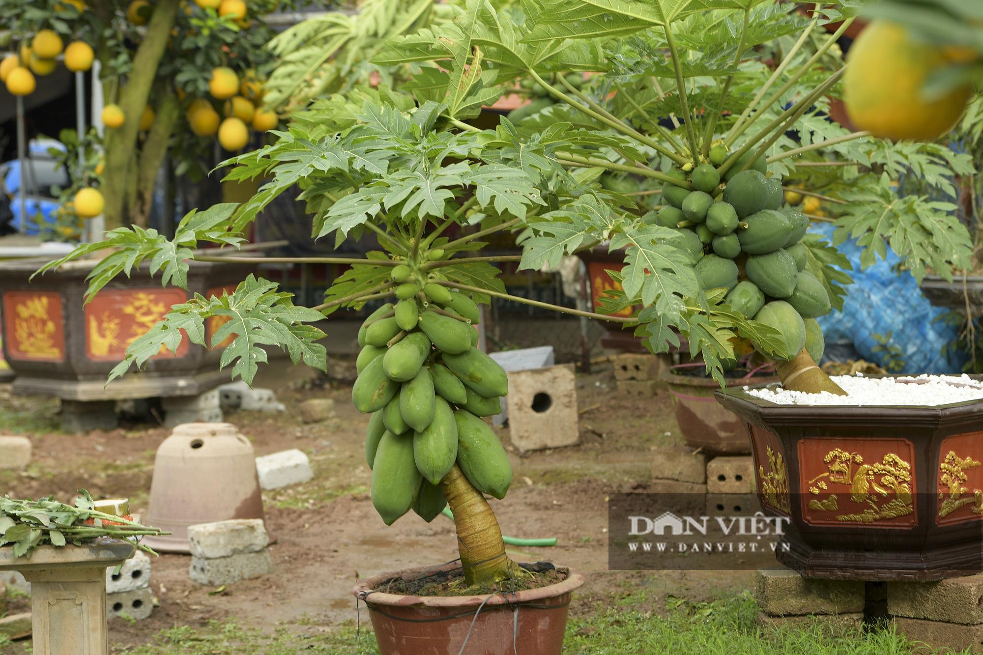 Độc đáo vườn đu đủ bonsai trĩu quả chơi Tết, mỗi cây giá bạc triệu hút khách mua chơi Tết - Ảnh 1.