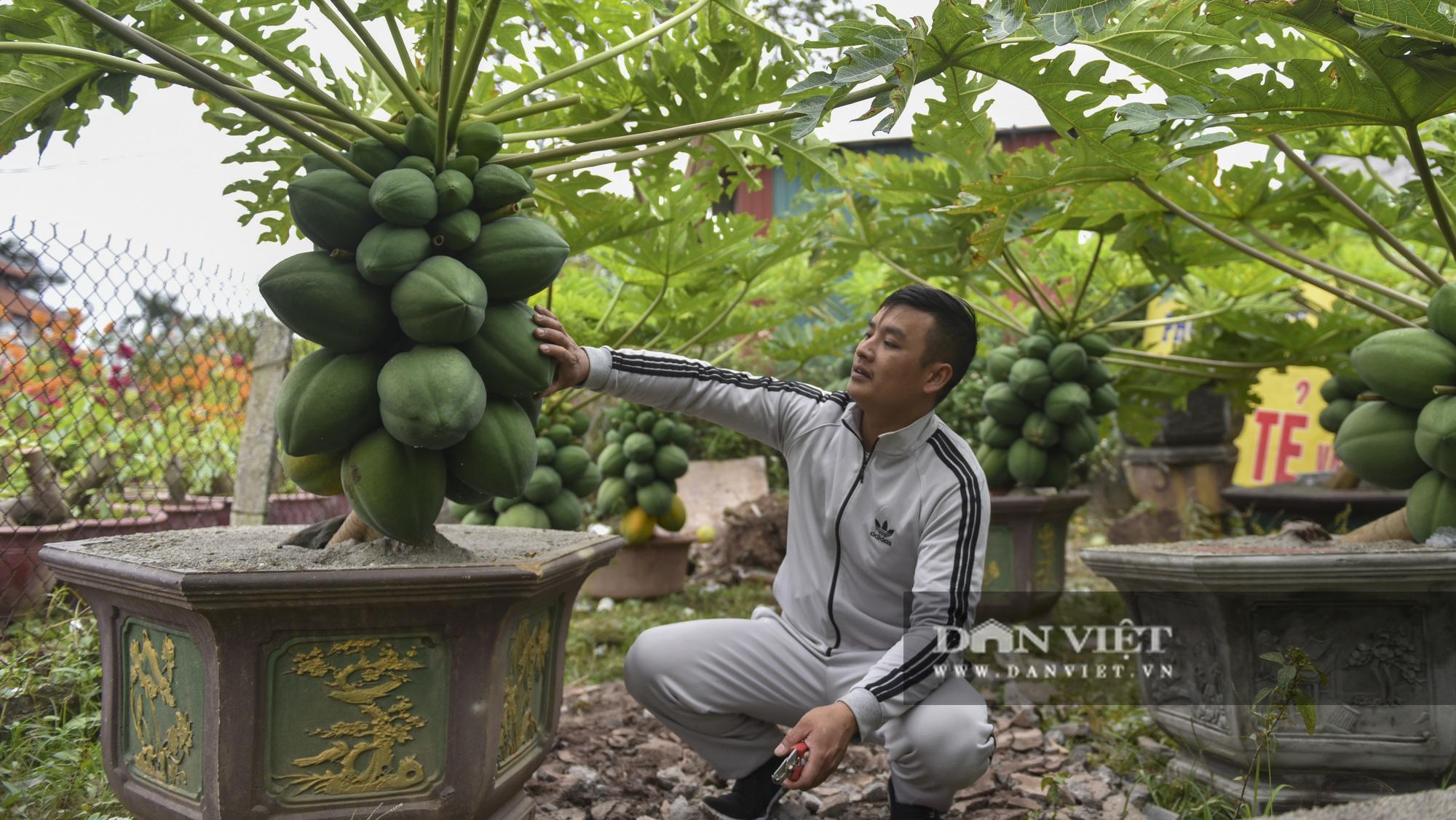Độc đáo vườn đu đủ bonsai trĩu quả chơi Tết, mỗi cây giá bạc triệu hút khách mua chơi Tết - Ảnh 9.