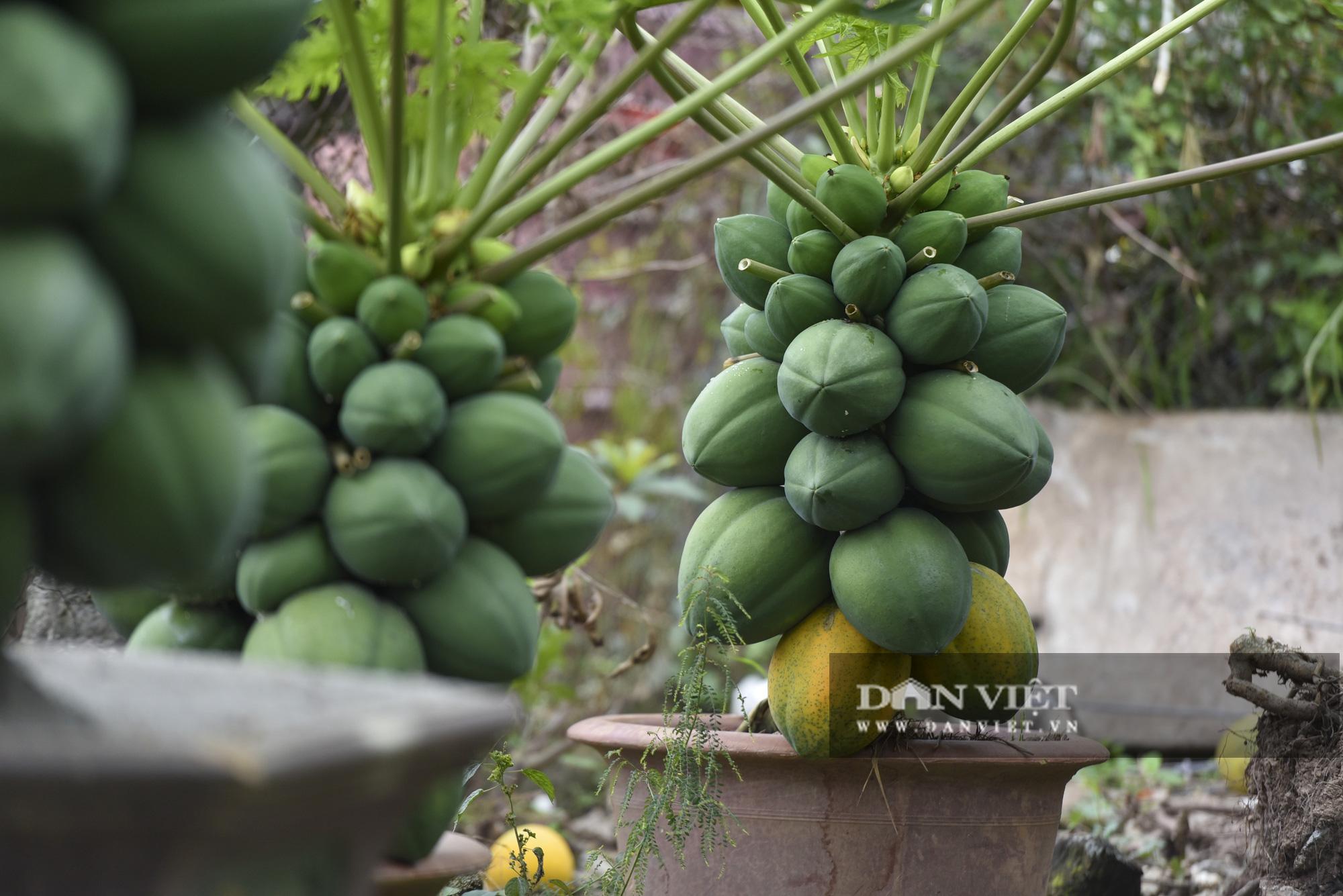 Độc đáo vườn đu đủ bonsai trĩu quả chơi Tết, mỗi cây giá bạc triệu hút khách mua chơi Tết - Ảnh 8.