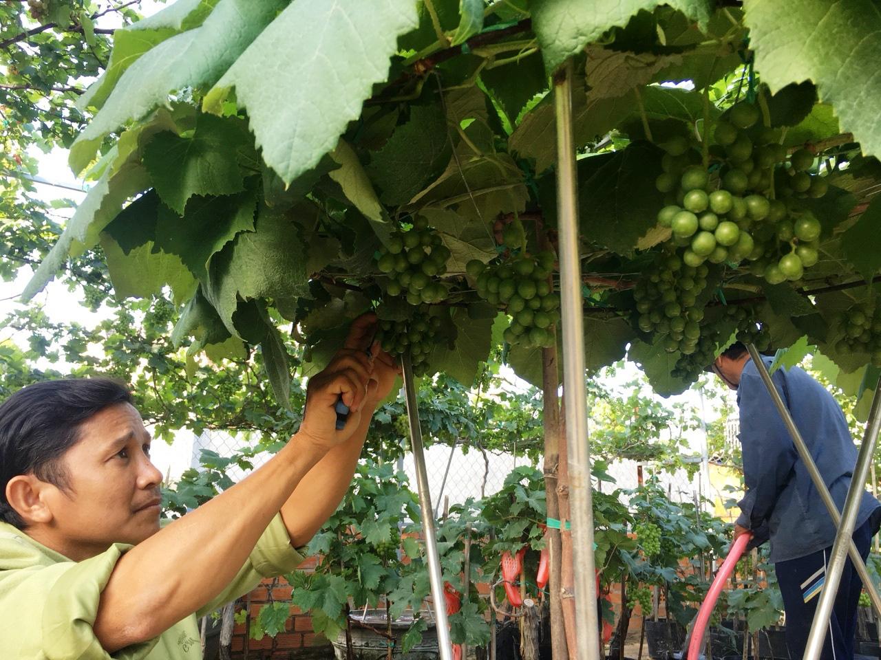 Nho cảnh Ninh Thuận giá bạc triệu rục rịch ra chợ Tết - Ảnh 1.