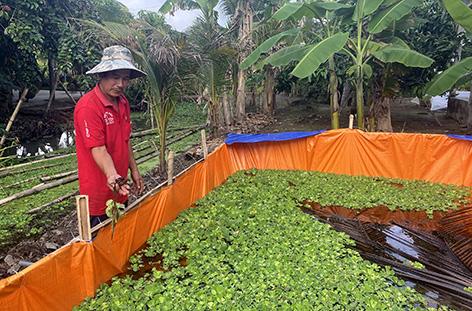 Hậu Giang: Nuôi cua đồng trên cạn cho ăn rau, củ, canh đến cuối năm, nông dân bắt cả tạ, bán đắt tiền