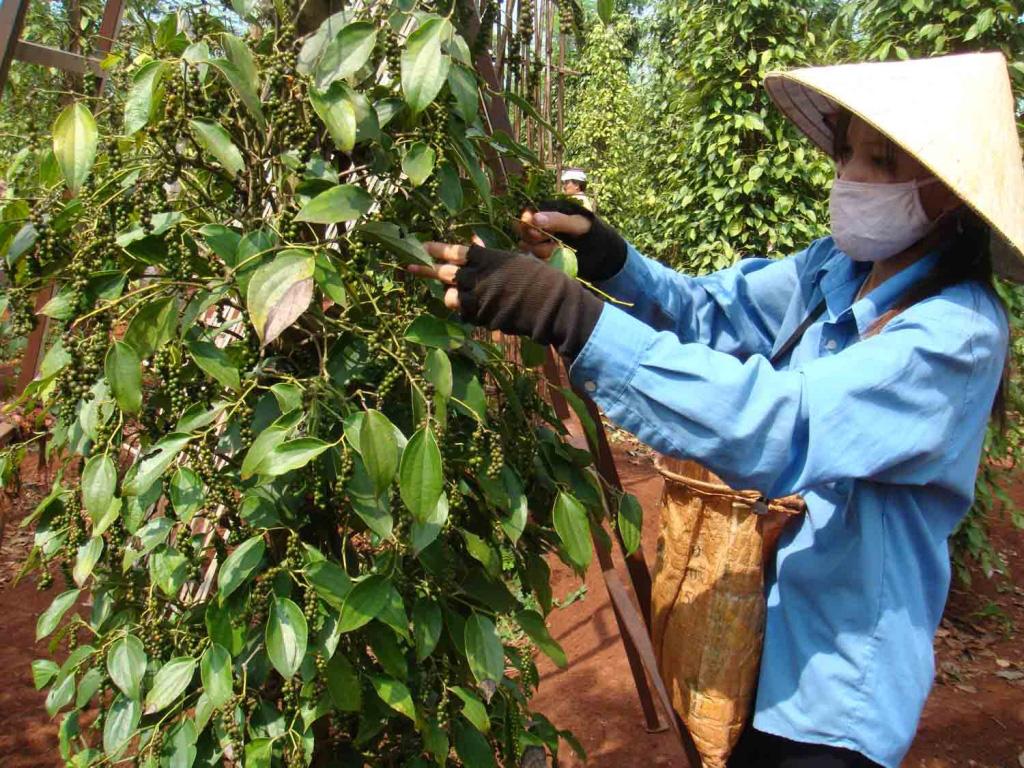 Bản tin giá nông sản 18/1: Giá heo hơi Hưng Yên cao nhất cả nước, cà phê và hồ tiêu vẫn đi ngang - Ảnh 2.