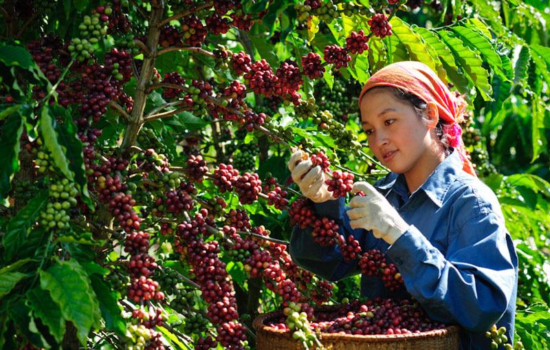 Giá nông sản hôm nay (18/1): Lợn hơi tại nhiều tỉnh thành nhích nhẹ, cà phê đi ngang - Ảnh 2.