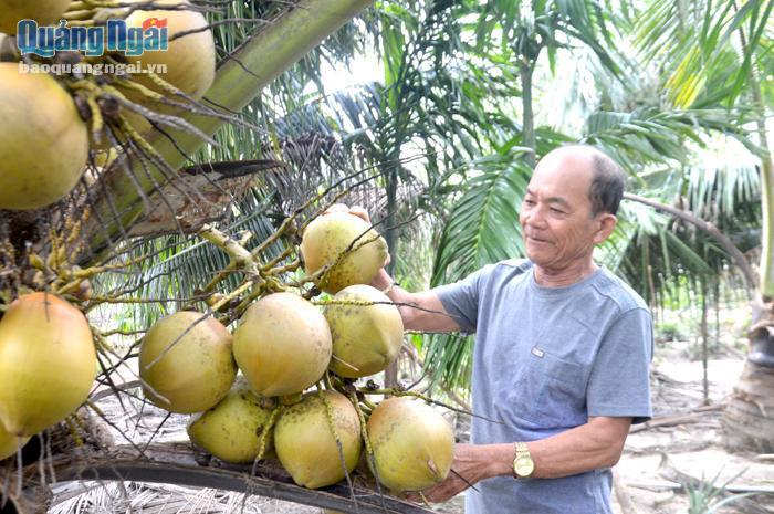 Lạc vào khu vườn trồng 100 cây dừa của một ông nông dân tỉnh Quảng Ngãi, cây thấp tè đã ra nhiều trái to bự - Ảnh 1.