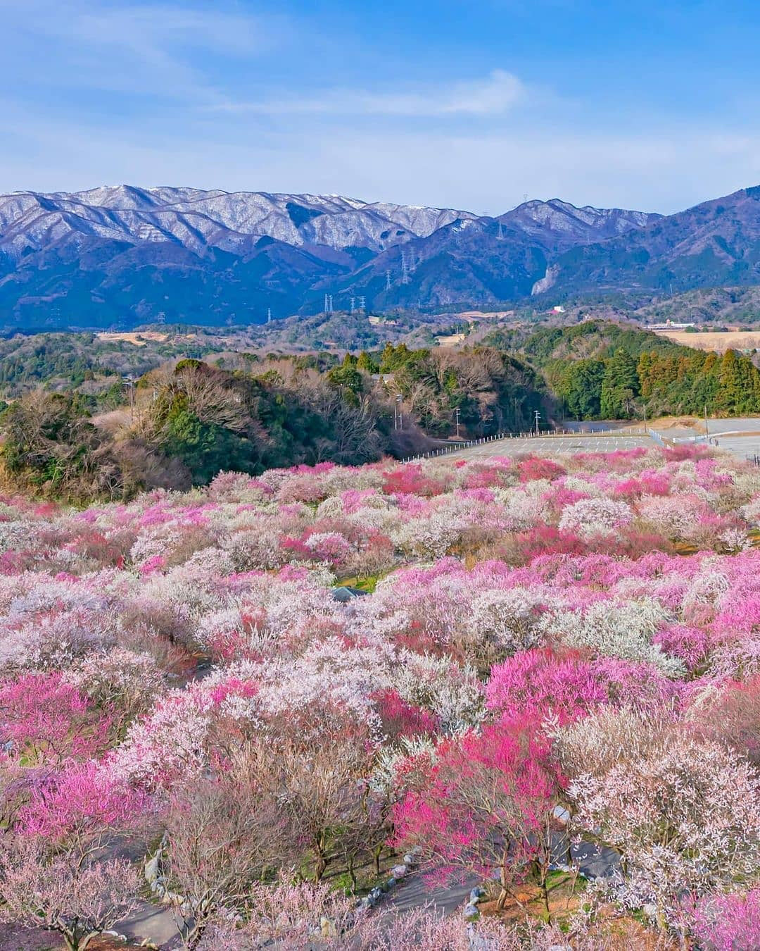 Nơi đầu tiên hoa mơ nở ở Nhật Bản - Ảnh 1.