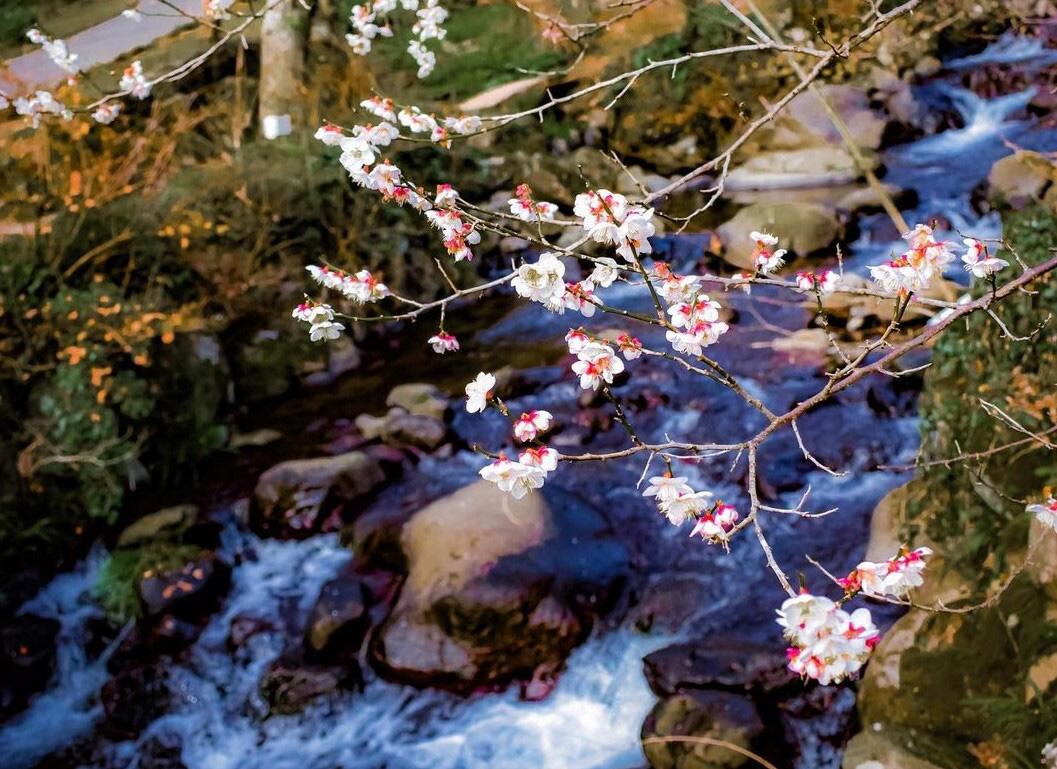 Nơi đầu tiên hoa mơ nở ở Nhật Bản - Ảnh 2.