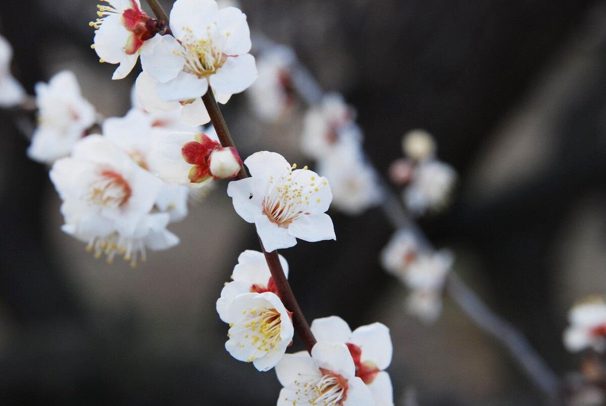 Nơi đầu tiên hoa mơ nở ở Nhật Bản - Ảnh 5.