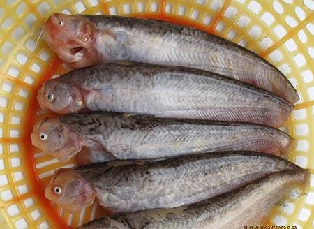 Loài cá trèn sứt môi một thời có nhiều kênh rạch miền Tây hóa ra giờ thành đặc sản, nấu kiểu gì cũng ngon - Ảnh 1.