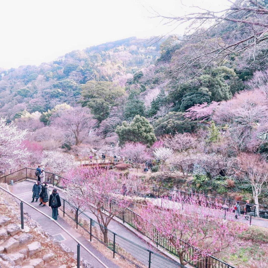 Nơi đầu tiên hoa mơ nở ở Nhật Bản - Ảnh 3.