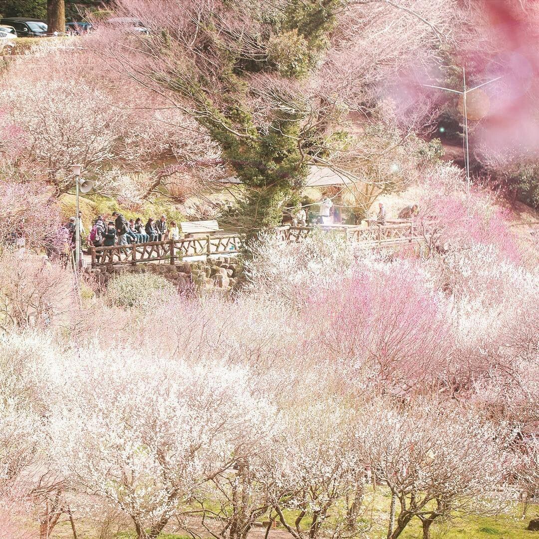 Nơi đầu tiên hoa mơ nở ở Nhật Bản - Ảnh 6.