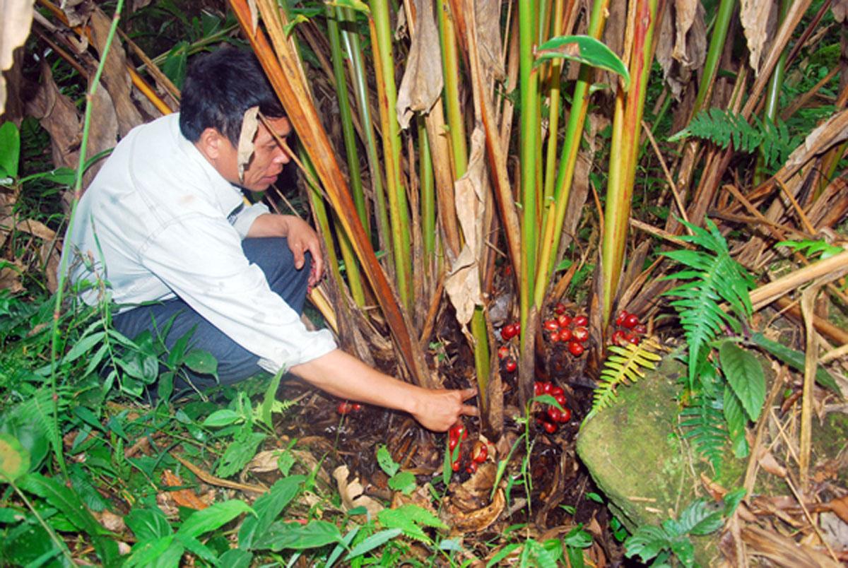 Lào Cai: Nông dân vô rừng rậm trồng loài cây gì mà bán 1 mùa quả cả trăm tỷ đồng, nhưng vẫn nhiều mối lo? - Ảnh 1.