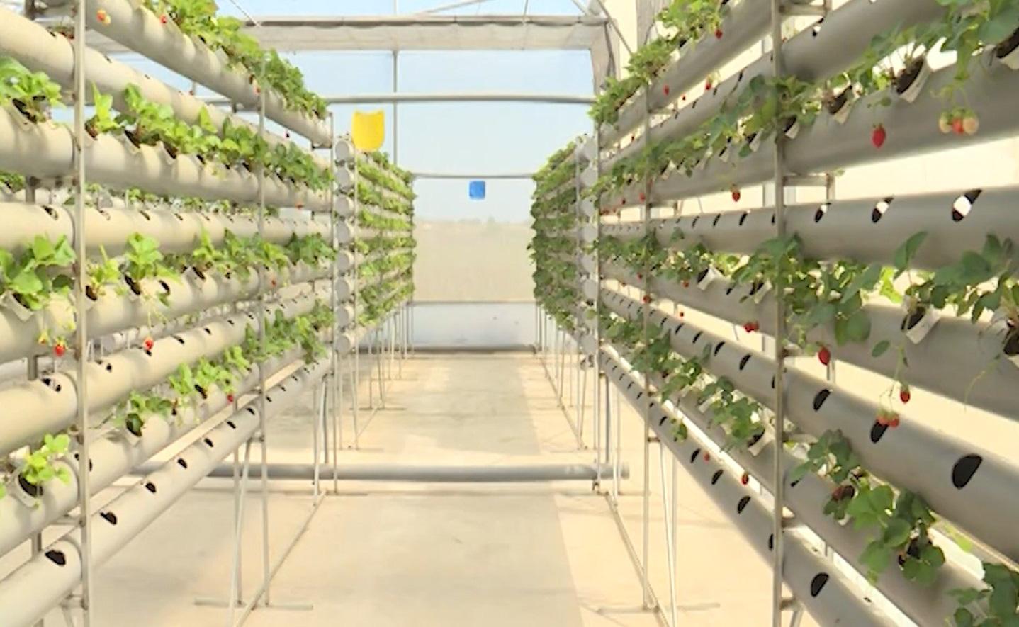 Bình Thuận: Mô hình trồng dâu tây công nghệ cao - Ảnh 2.