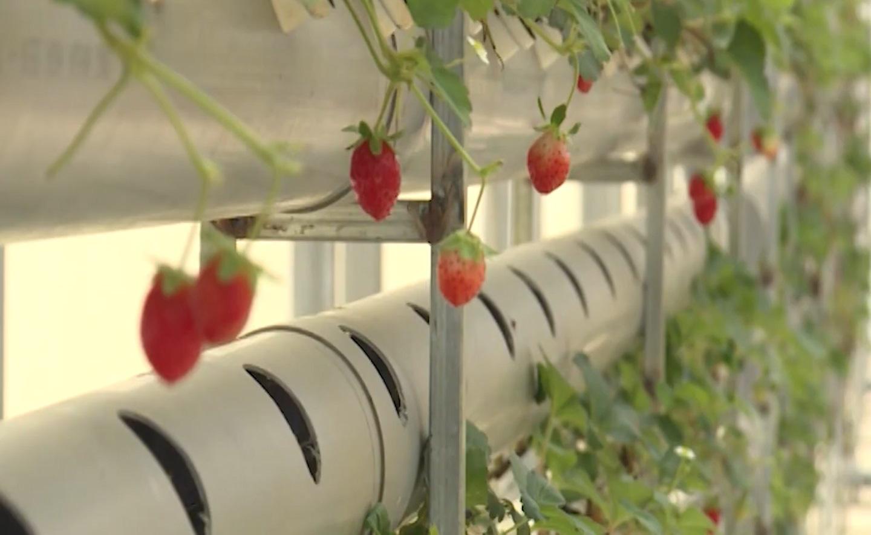 Bình Thuận: Mô hình trồng dâu tây công nghệ cao - Ảnh 3.