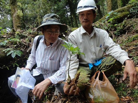 Quảng Nam: Chi 3 tỷ đồng trồng thử nghiệm sâm Ngọc Linh nuôi cấy mô - Ảnh 2.