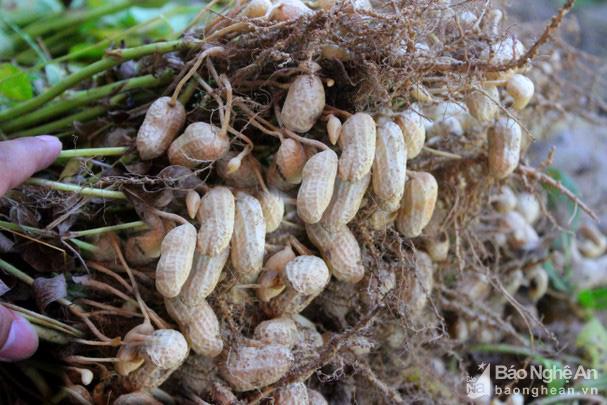 Nghệ An: Trồng thứ cây ra quả từng chùm vùi dưới đất, dân đào lên bán được giá cao - Ảnh 2.