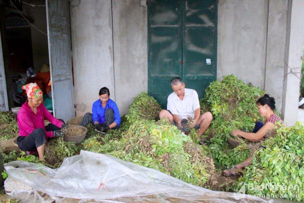 Nghệ An: Trồng thứ cây ra quả từng chùm vùi dưới đất, dân đào lên bán được giá cao - Ảnh 1.