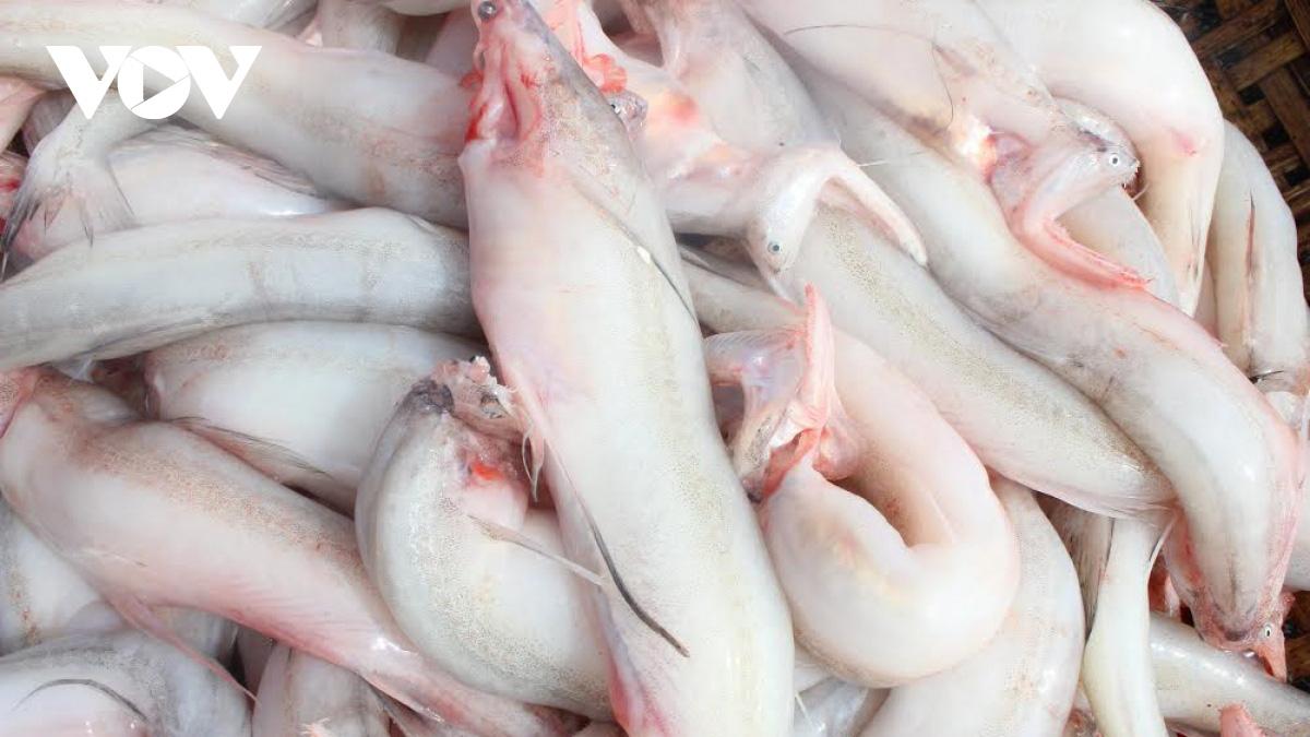 Hà Tĩnh: Loài cá biển ngày xưa chỉ để cho heo, nay trở thành đặc sản, dân đi bắt thu tiền triệu mỗi ngày - Ảnh 2.